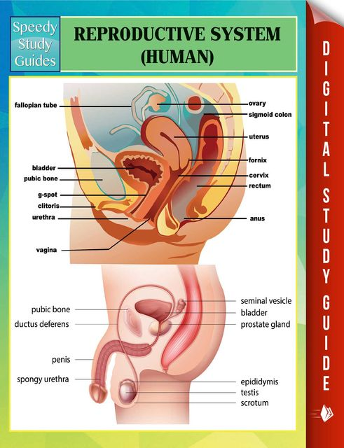 Reproductive System (Human) Speedy Study Guides, Speedy Publishing