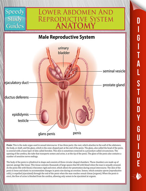 Lower Abdomen And Reproductive System Anatomy (Speedy Study Guide), Speedy Publishing